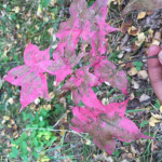 Autumn maple leaf in the Tigar forest is a very rich puce colour